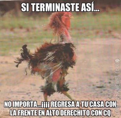 Mi gallo despues de una pelea